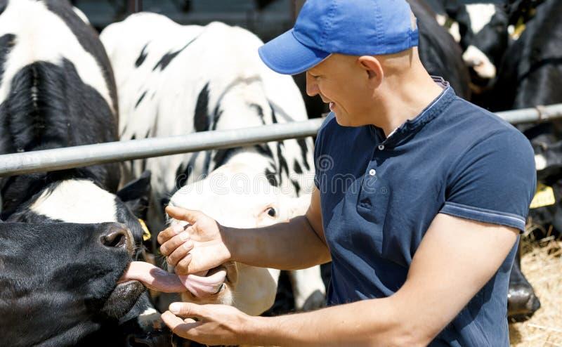 Αγρότης που περιβάλλεται εύθυμος από τις αγελάδες στο αγρόκτημα στοκ εικόνες