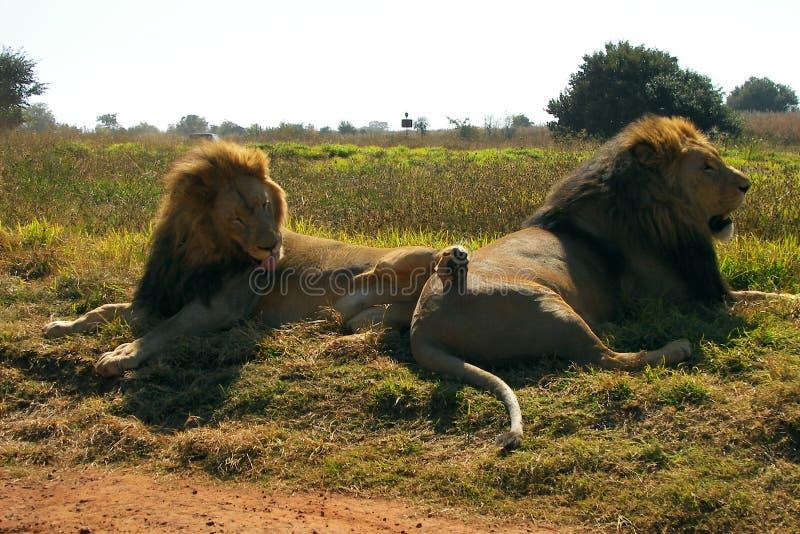 Αδελφοί 2 ενήλικοι λιονταριών σε στάση στοκ εικόνα