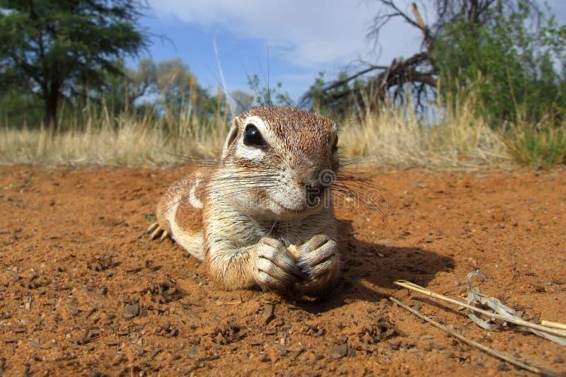 Αδιάκριτος επίγειος σκίουρος στοκ εικόνες με δικαίωμα ελεύθερης χρήσης