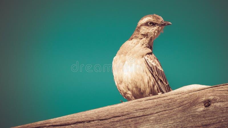 Αδιάκριτος κοιτάξτε ενός τροπικού mockingbird στοκ εικόνες