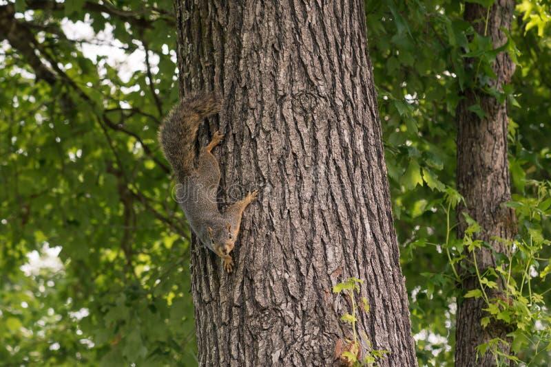 Αδιάκριτος σκίουρος αλεπούδων προς τα κάτω - που αντιμετωπίζει στον κορμό δέντρων στοκ εικόνες