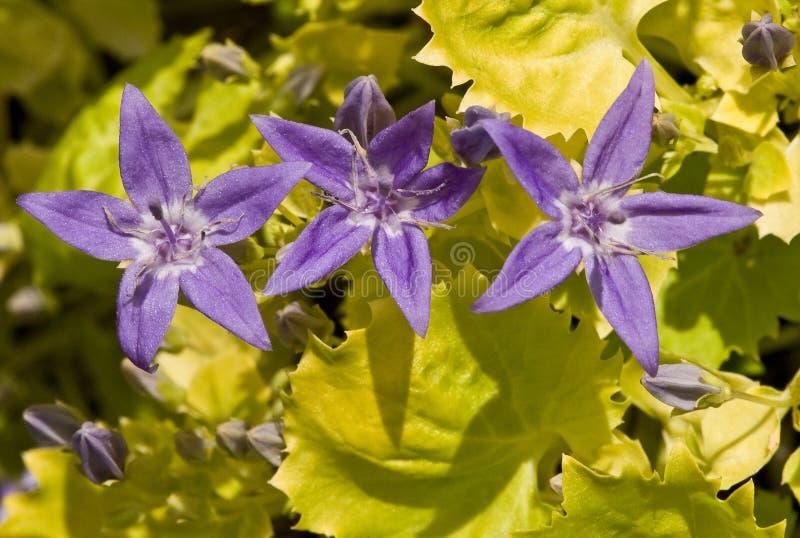 Αδριατική bellflower στοκ εικόνα με δικαίωμα ελεύθερης χρήσης