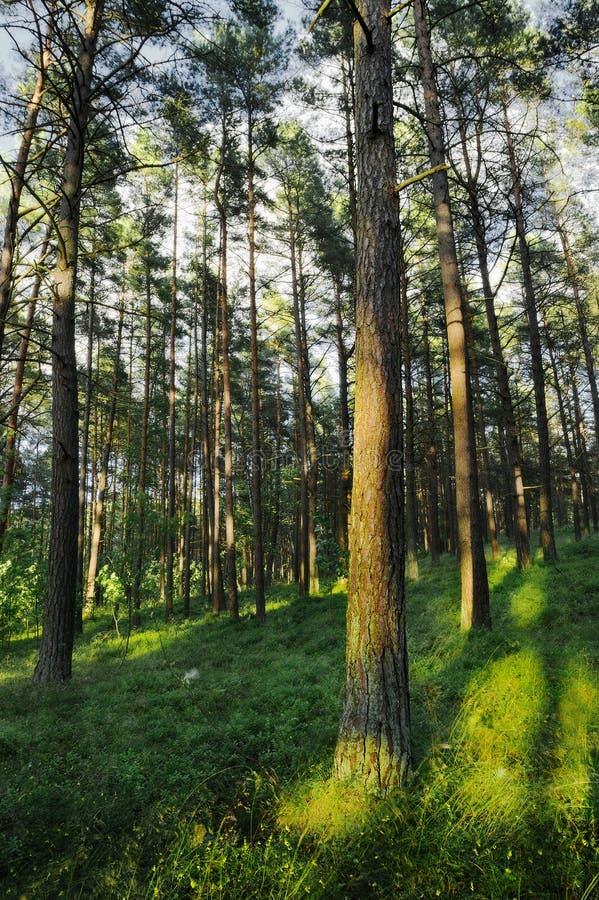 Αειθαλές κωνοφόρο δασικό Pinewood πεύκων με τα σκωτσέζικα ή σκωτσέζικα δέντρα sylvestris πεύκων πεύκων στοκ φωτογραφία με δικαίωμα ελεύθερης χρήσης