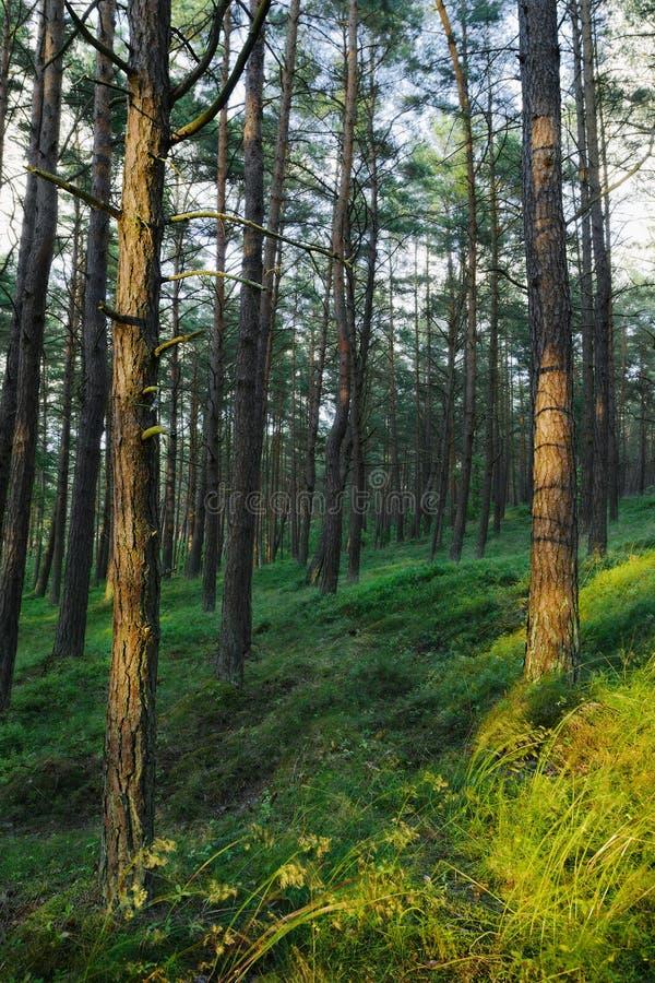 Αειθαλές κωνοφόρο δασικό Pinewood πεύκων με τα σκωτσέζικα ή σκωτσέζικα δέντρα sylvestris πεύκων πεύκων στοκ φωτογραφίες με δικαίωμα ελεύθερης χρήσης