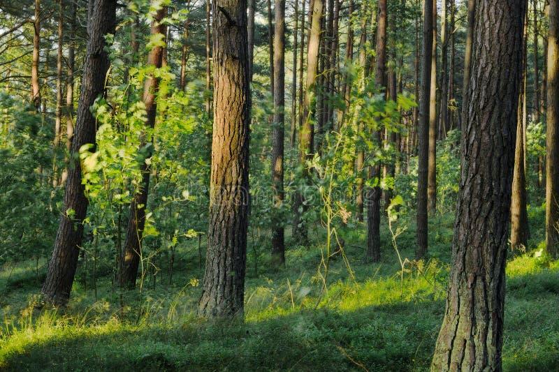 Αειθαλές κωνοφόρο δασικό Pinewood πεύκων με τα σκωτσέζικα ή σκωτσέζικα δέντρα sylvestris πεύκων πεύκων στοκ εικόνα με δικαίωμα ελεύθερης χρήσης