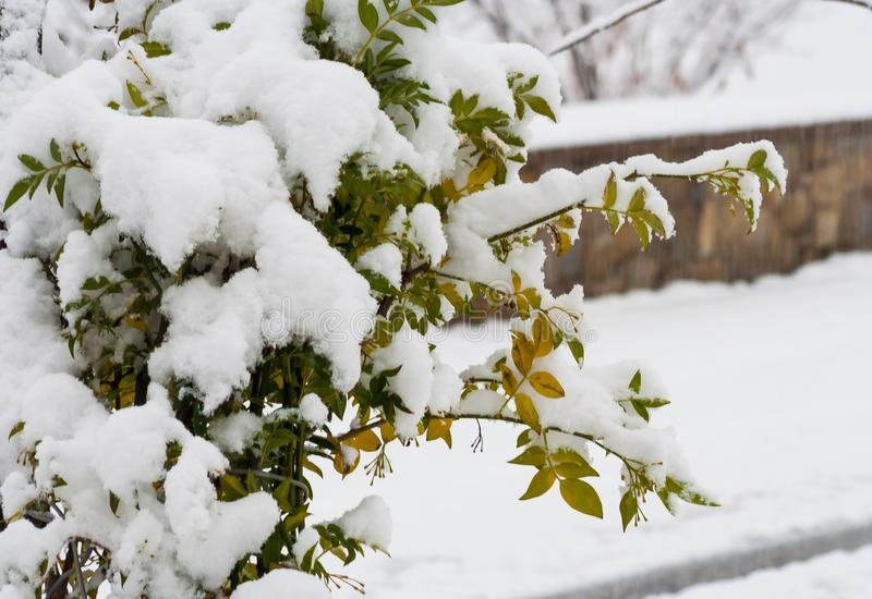 Αειθαλής με το χιόνι πέρα από τα φύλλα στοκ φωτογραφίες