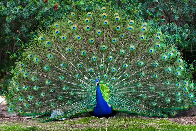 αερισμένη peacock ουρά στοκ φωτογραφία