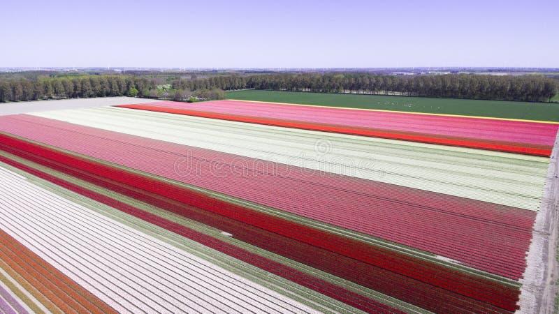 Αεροφωτογραφία σε χωράφι με τουλίπα στοκ εικόνες