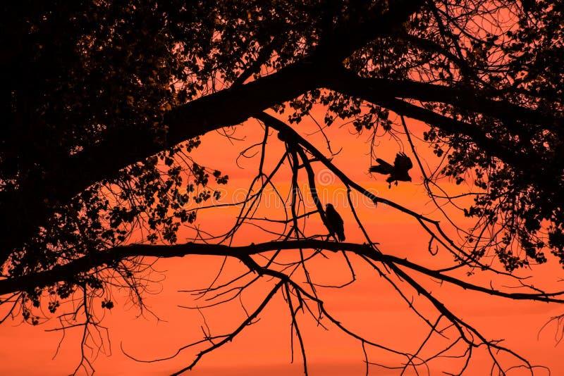 Αετοί ενάντια στην πορτοκαλιά νεφελώδη σκιαγραφία ανατολής ουρανού στοκ φωτογραφίες