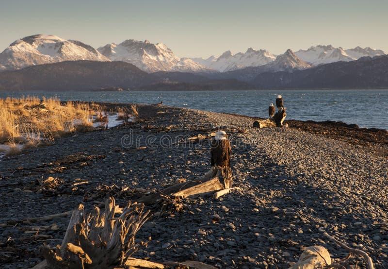 Αετοί σε μια από την Αλάσκα παραλία στοκ εικόνες
