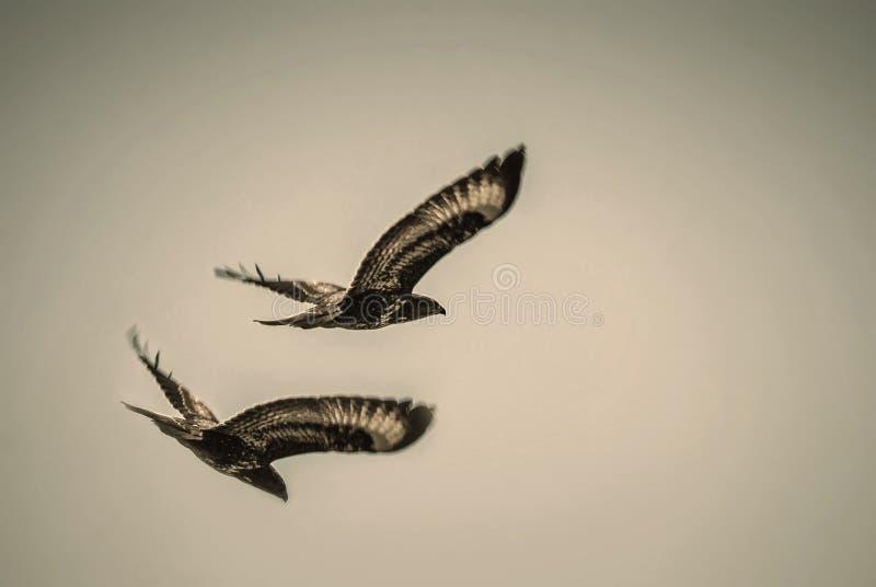 αετοί στοκ εικόνες