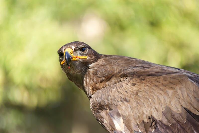 αετός βασιλικός στοκ φωτογραφίες με δικαίωμα ελεύθερης χρήσης