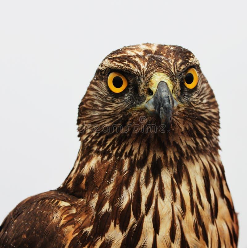 Αετός γερακιών στοκ φωτογραφία με δικαίωμα ελεύθερης χρήσης