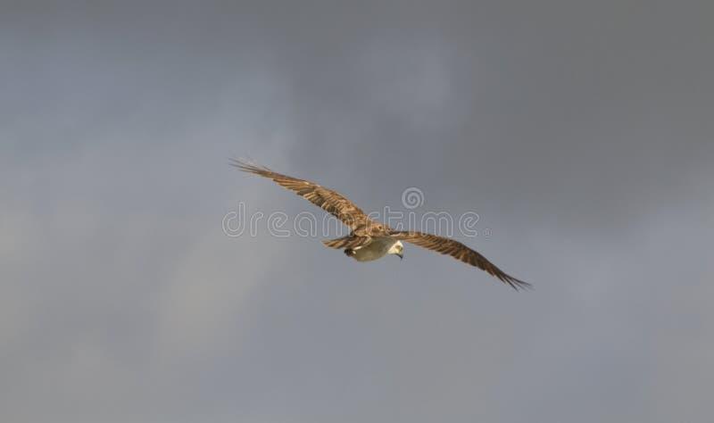 Αετός θάλασσας στο φως ξημερωμάτων στοκ εικόνες