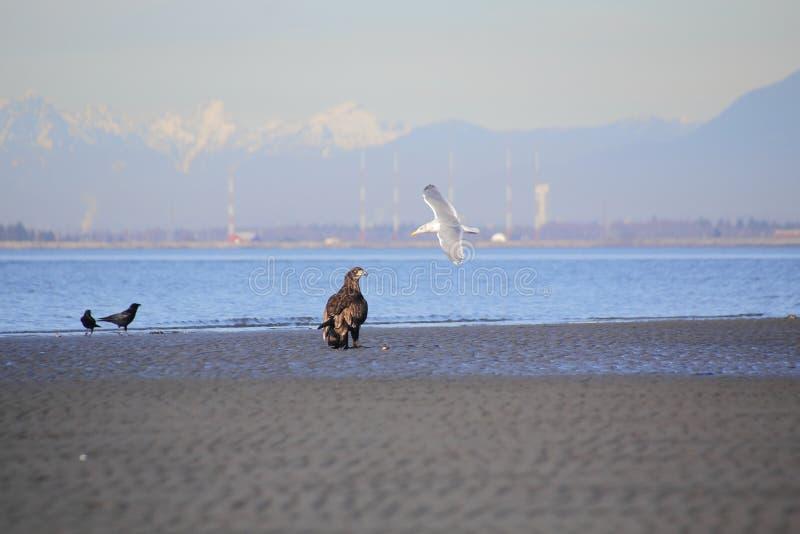 Αετός και γλάρος στοκ φωτογραφίες με δικαίωμα ελεύθερης χρήσης