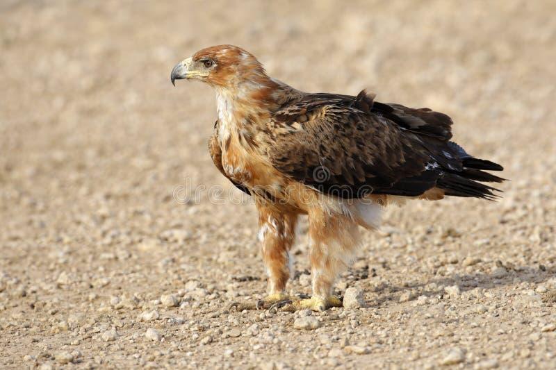 αετός καστανόξανθος στοκ εικόνα με δικαίωμα ελεύθερης χρήσης