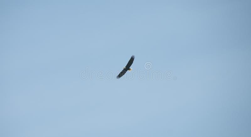 Αετός κατά την πτήση με το υπόβαθρο μπλε ουρανού στοκ εικόνα