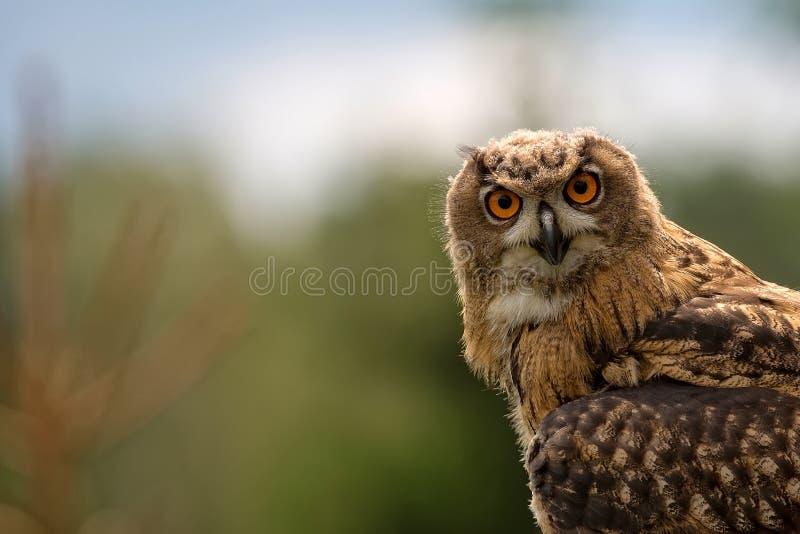 Αετός-κουκουβάγια στις άγρια περιοχές, ένα πορτρέτο στοκ εικόνες