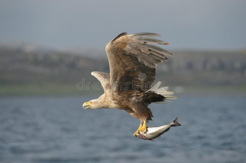 Αετός με το θήραμα στοκ φωτογραφίες με δικαίωμα ελεύθερης χρήσης