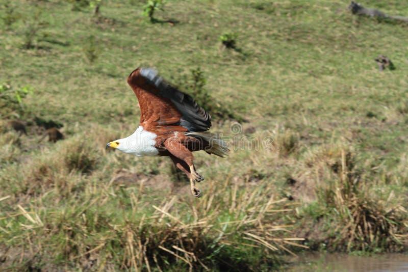 Αετός πέρα από τη Mara στοκ φωτογραφία