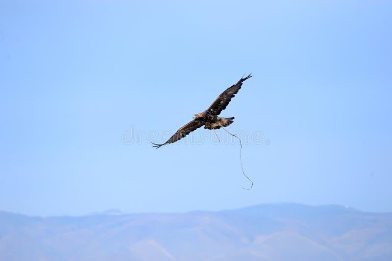 Αετός που πετά στα ύψη πέρα από τη στέπα κατά τη διάρκεια του κυνηγιού στοκ εικόνες