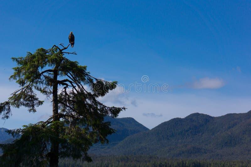Αετός που σκαρφαλώνει φαλακρός στην κορυφή δέντρων στοκ εικόνες