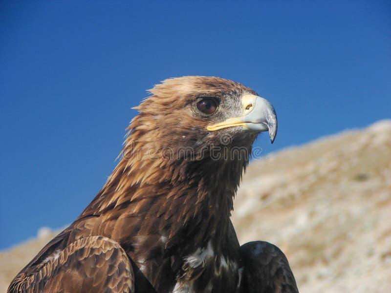 Αετός στη μογγολική στέπα στοκ φωτογραφία