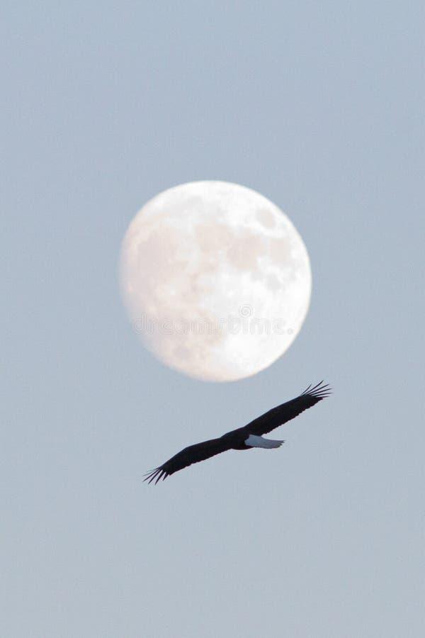 Αετός στη πανσέληνο στοκ εικόνες με δικαίωμα ελεύθερης χρήσης