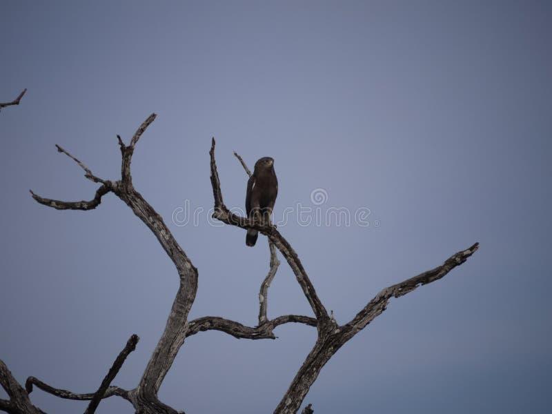 Αετός στο δέντρο στη Ζάμπια στοκ φωτογραφία