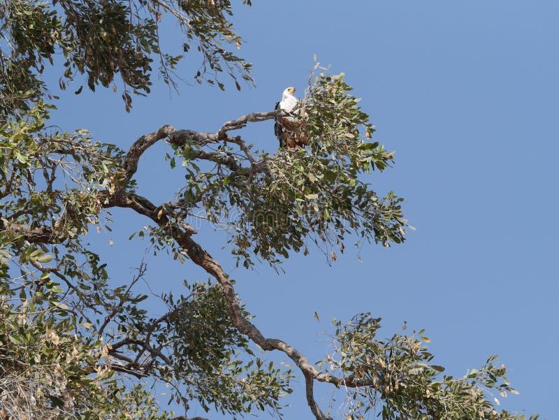 Αετός ψαριών στο εθνικό πάρκο Chobe στοκ φωτογραφίες με δικαίωμα ελεύθερης χρήσης