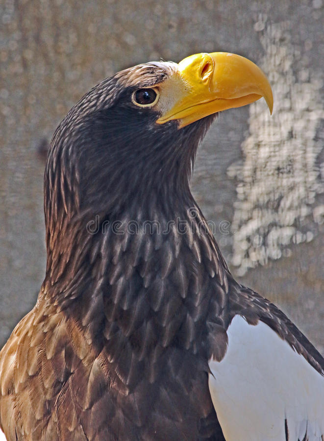 Αετός στοκ φωτογραφίες