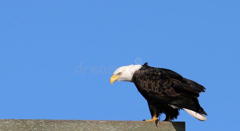 Download αετός στοκ εικόνα. εικόνα από φαλακρό, birdbaths, raptor - 75585