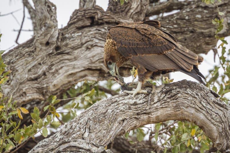 Αετός Bateleur στο εθνικό πάρκο Kruger, Νότια Αφρική στοκ φωτογραφία