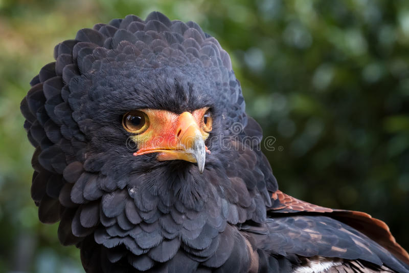 Αετός Bateleur στοκ εικόνα με δικαίωμα ελεύθερης χρήσης