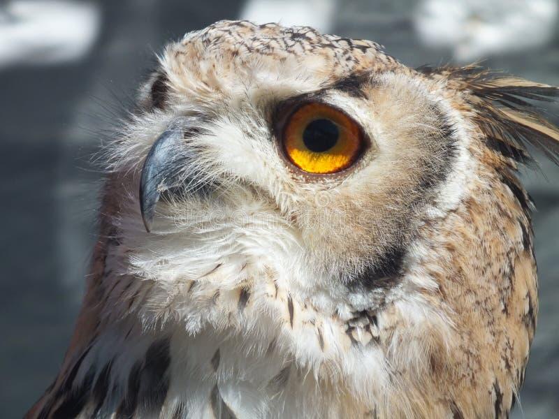 Αετός Owl2 στοκ φωτογραφίες