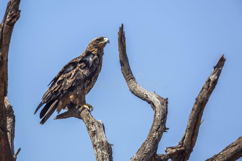 Αετός Wahlberg s στο εθνικό πάρκο Kruger, Νότια Αφρική στοκ φωτογραφία με δικαίωμα ελεύθερης χρήσης