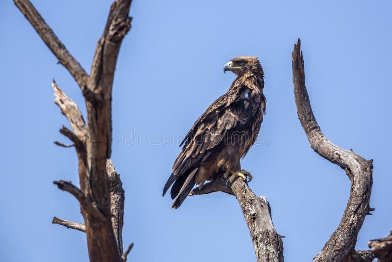 Αετός Wahlberg s στο εθνικό πάρκο Kruger, Νότια Αφρική στοκ φωτογραφίες με δικαίωμα ελεύθερης χρήσης