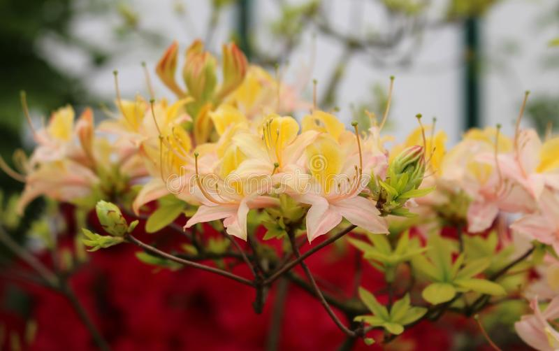 """Αζαλέα """"Daviesii """" Ανθίζοντας λουλούδια ρόδινο κίτρινο Rhododendron στοκ εικόνες"""