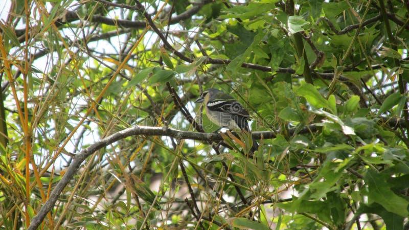 Αζορικό θαυμάσιο ενδημικό πουλί στοκ εικόνες