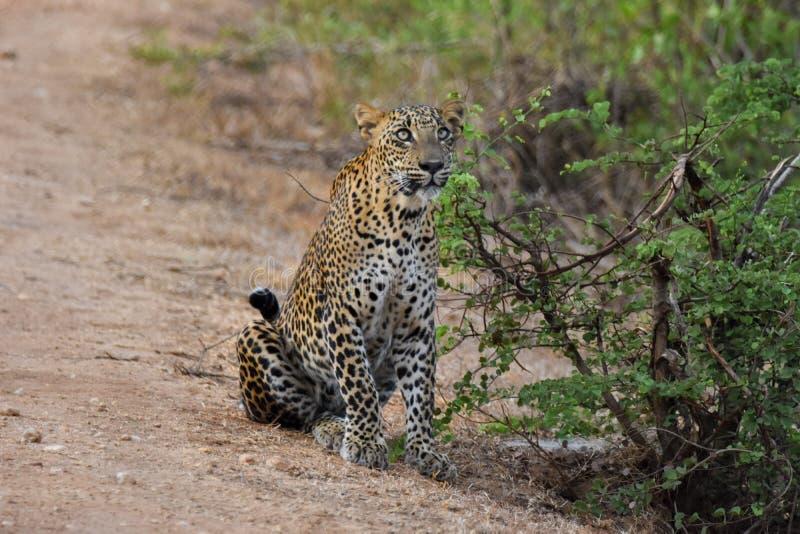 Αθώα λεοπάρδαλη που κοιτάζει τον ουρανό στοκ φωτογραφία με δικαίωμα ελεύθερης χρήσης