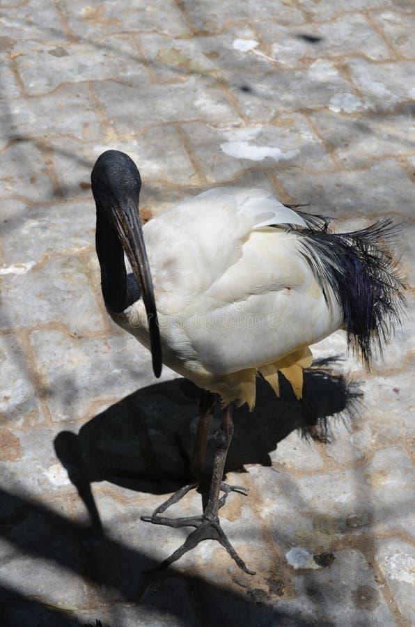 Αιγυπτιακό ιερό aethiopicus Threskiornis θρεσκιορνιθών πουλιών μαύρο στοκ φωτογραφία