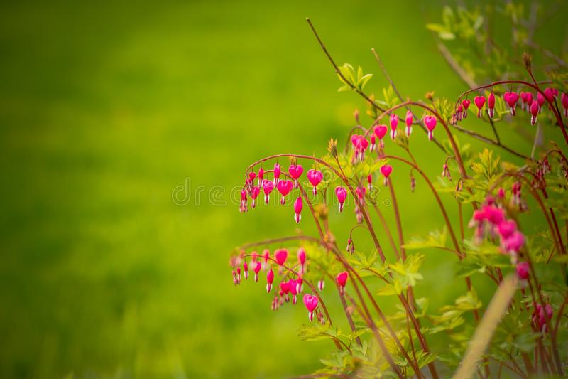 Αιμορραγώντας καρδιά, spectabilis Dicentra Αιμορραγώντας κλάδος καρδιών στο πράσινο υπόβαθρο δασικό λευκό άνοιξη λουλουδιών Καρδι στοκ εικόνες με δικαίωμα ελεύθερης χρήσης