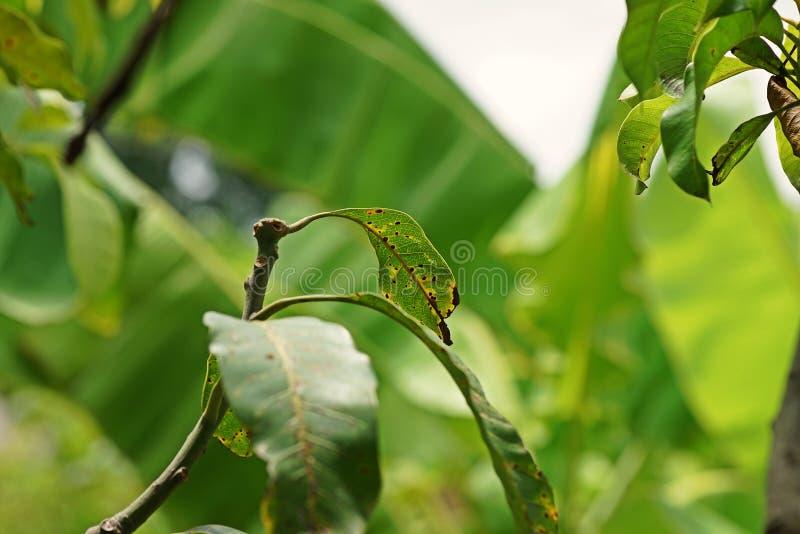 Αιτίες ασθενειών φύλλων μάγκο από τους μύκητες στοκ φωτογραφία με δικαίωμα ελεύθερης χρήσης