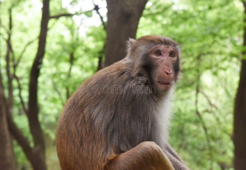 Αιφνιδιαστικός πίθηκος στοκ εικόνα