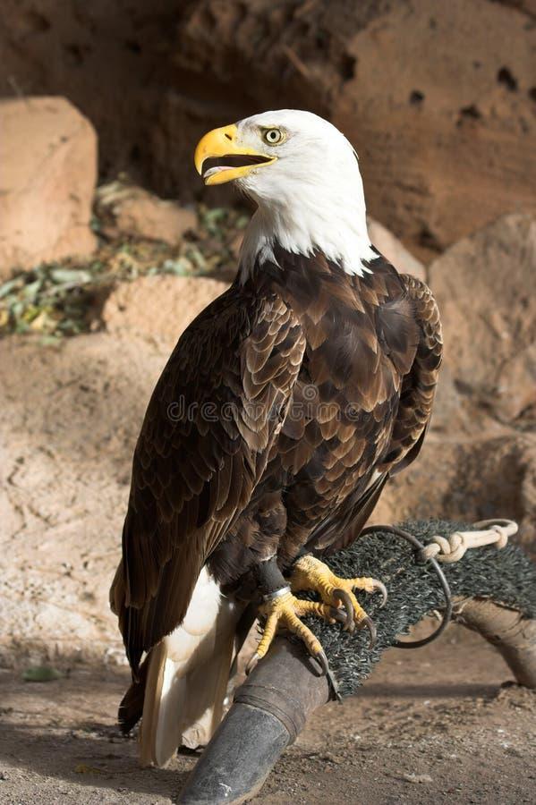 αιχμάλωτος αετός στοκ εικόνα