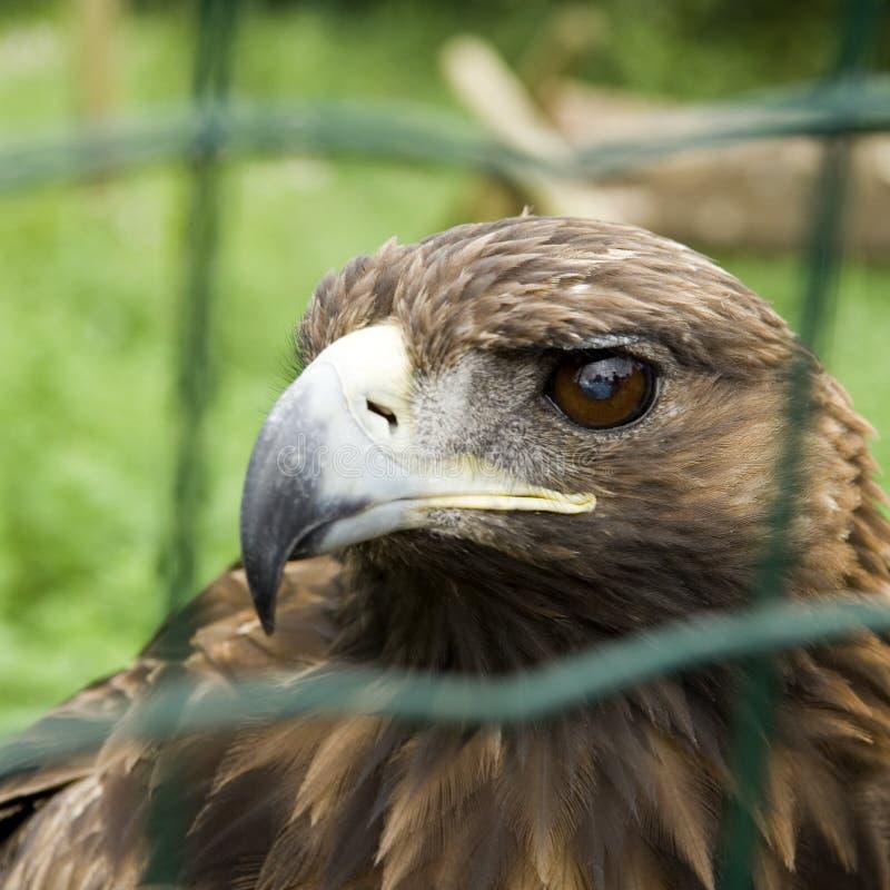 αιχμάλωτος αετός στοκ εικόνες με δικαίωμα ελεύθερης χρήσης