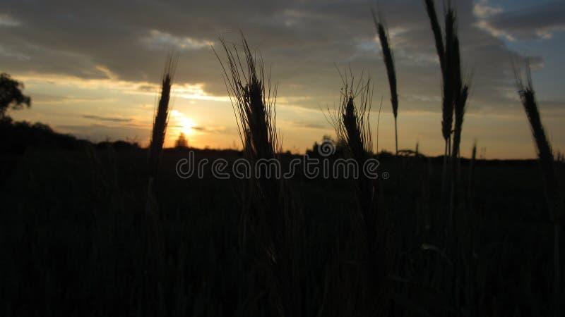 Αιχμές του σίτου στο υπόβαθρο του ηλιοβασιλέματος στοκ φωτογραφία