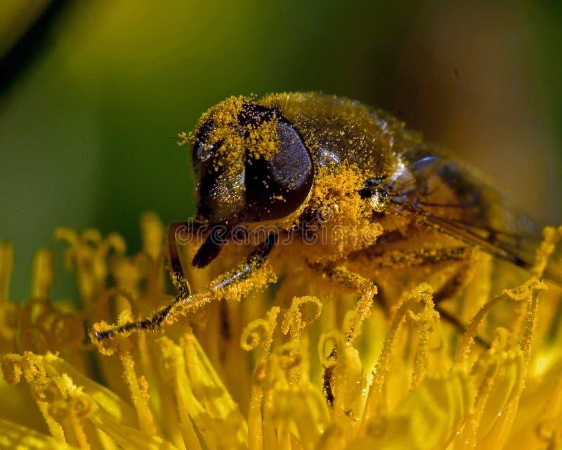 Αιωρηθείτε τη μύγα Eristalis SP στοκ φωτογραφία με δικαίωμα ελεύθερης χρήσης