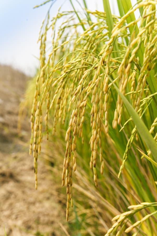 Ακίδα ρυζιού στον τομέα ρυζιού στοκ εικόνα