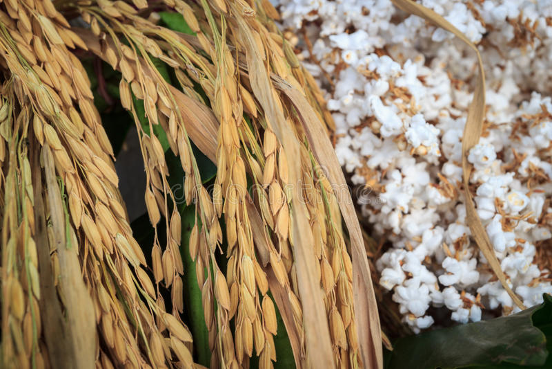 Ακίδες ρυζιού με το σκαμένο ρύζι στοκ εικόνα με δικαίωμα ελεύθερης χρήσης